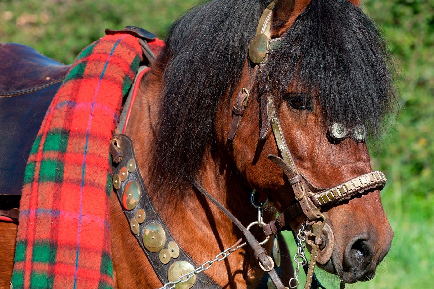 Cabalos de pura raza galega